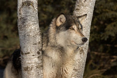 Grey Wolf Canis lupus Head Between Trees. Captive animal stock photo