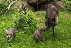 Grey Wolf Canis lupus hälsas av valpen Royaltyfria Bilder
