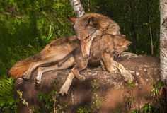 Grey Wolf Canis lupus Holds Pup. Captive animals Stock Photo