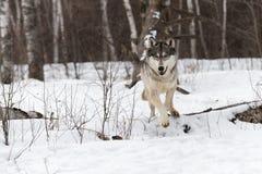 Grey Wolf Canis lupus hoppar över journal Arkivbild