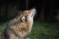 Grey wolf (Canis lupus) howling Royalty Free Stock Photography