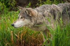 Grey Wolf Canis lupus i gräsnäsan som ut skjuts arkivbilder