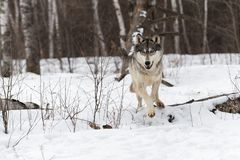 Grey Wolf Canis lupus Jumps Over Log Stock Photography