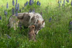 Grey Wolf Canis lupus Juvenile and Pup Share Moment. Captive animals Royalty Free Stock Images