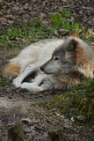 Grey Wolf - Canis lupus Royalty Free Stock Photography