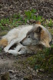 Grey Wolf - Canis lupus Royalty Free Stock Image