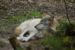 Grey Wolf - Canis lupus Royalty Free Stock Photos