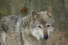 Grey Wolf - Canis lupus Royalty Free Stock Images