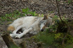 Grey Wolf - Canis lupus Royalty Free Stock Photo