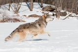 Grey Wolf (Canis lupus) Leaps Royalty Free Stock Photo
