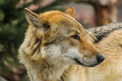 Grey wolf, Canis Lupus, looking to the right stock image