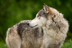Grey Wolf Canis lupus Looks Left Along Body Stock Photo