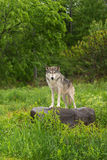 Grey Wolf (Canis lupus) Looks Out from Atop Rock Royalty Free Stock Photography