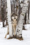 Grey Wolf Canis lupus Looks Out From Between Birch Trees Stock Images