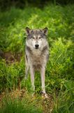 Grey Wolf Canis lupus Looks Out From Grass Royalty Free Stock Images