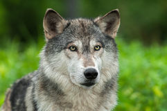 Grey Wolf Canis lupus Looks Out From Green Royalty Free Stock Images