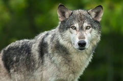 Grey Wolf Canis lupus Looks Out Head and Body Stock Photo