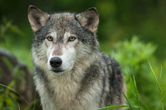 Grey Wolf Canis lupus Looks Out Head. Captive animal royalty free stock image