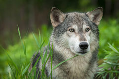 Grey Wolf Canis lupus Looks Out Head Right. Captive animal royalty free stock photography