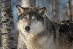Grey Wolf Canis lupus Looks Out Head Tilted Winter. Captive animal royalty free stock image