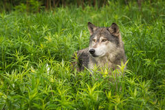 Grey Wolf Canis lupus Looks Out from Tall Grasses Stock Image