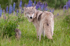 Grey Wolf Canis lupus Looks Over Shoulder Stock Photo