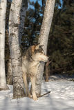 Grey Wolf Canis lupus Looks Right From Trees Stock Photography