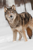 Grey Wolf (Canis lupus) Looks Up Stock Photo