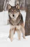 Grey Wolf (Canis lupus) Looks Up Royalty Free Stock Photography