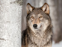 Grey Wolf (Canis lupus) Looks Up Stock Photos