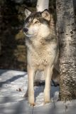 Grey Wolf Canis lupus Looks Up Next to Tree Winter royalty free stock image