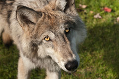 Grey Wolf (Canis lupus) Looks Up at Viewer Royalty Free Stock Photo