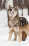Grey Wolf (Canis lupus) Looks Way Up Stock Photos