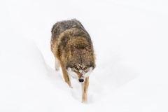 Grey wolf canis lupus lupus winter Royalty Free Stock Photo