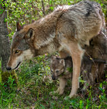 Grey Wolf (Canis lupus) Mother and Pup Royalty Free Stock Photos