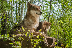 Grey Wolf (Canis lupus) Mother and Pup Sit Atop Rock Royalty Free Stock Images