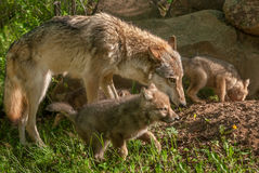Grey Wolf Canis lupus Mother and Pups Royalty Free Stock Image
