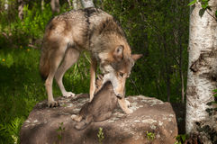 Grey Wolf (Canis lupus) Mother Works to Pick up Pup Royalty Free Stock Photo