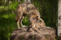Grey Wolf Canis lupus Mouth on Pup Royalty Free Stock Images