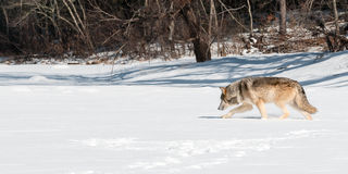 Grey Wolf (Canis lupus) Moves Left Along Snowy Riverbed. Captive animal Royalty Free Stock Photo