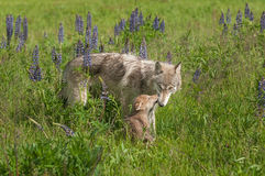 Grey Wolf Canis lupus Nuzzled by Pup Stock Photo