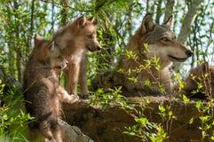 Grey Wolf Canis lupus och valper ser högra uppe på vaggar royaltyfria foton
