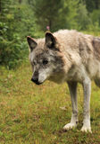 Grey wolf-canis lupus. Old female canis lupus grey wolf Royalty Free Stock Photography