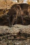 Grey Wolf Canis lupus på Rock avsatsen royaltyfria bilder