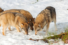 Grey Wolf (Canis lupus) pack - captive animal Stock Photo