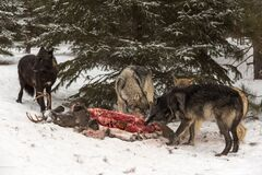 Free Grey Wolf Canis Lupus Pack Gathers Around White-Tail Deer Carcass Winter Royalty Free Stock Photography - 178249097
