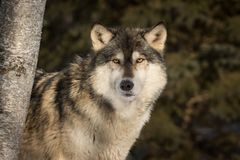 Grey Wolf Canis lupus Peers Around Tree Royalty Free Stock Photography