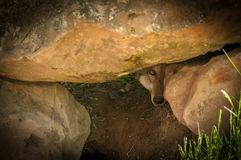 Grey Wolf Canis lupus Peers Out Between Rocks. Captive animal Royalty Free Stock Images