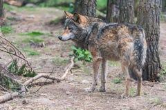 Grey Wolf Canis lupus stock photos