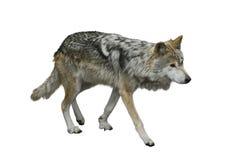 Grey Wolf (Canis lupus) Stock Photos
